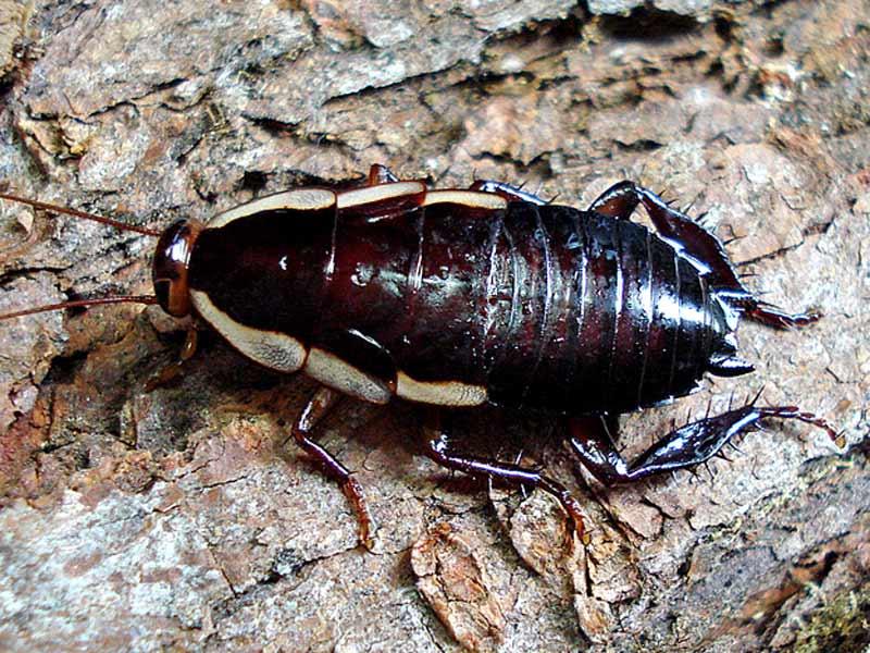 Native cockroach