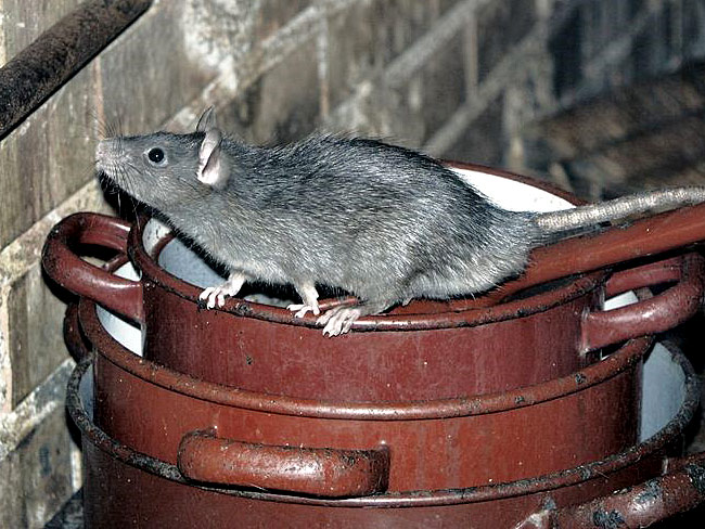 Rats seek shelter and warmth in the winter months and can squeeze through the smallest gaps to get into homes and properties.